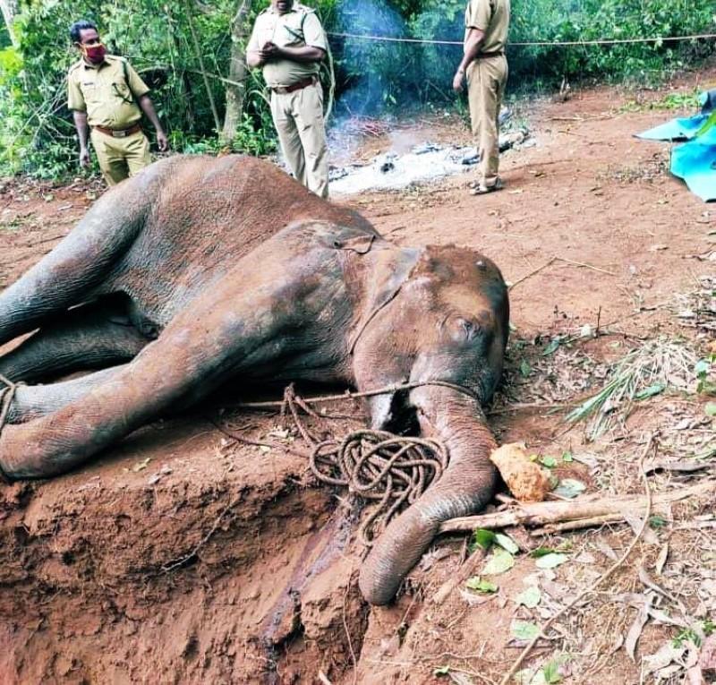 بالصور: استنكار عالمي لمقتل أنثى الفيل الحامل بوجبة المفرقعات على يد هنود مستهترين
