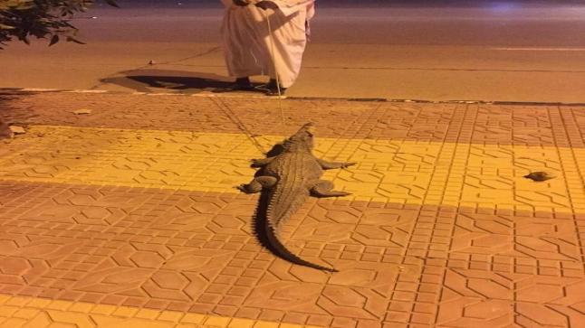 السيطرة على تمساح يتجول في شوارع السعودية