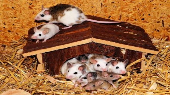 تفسير حلم الفئران في المنام