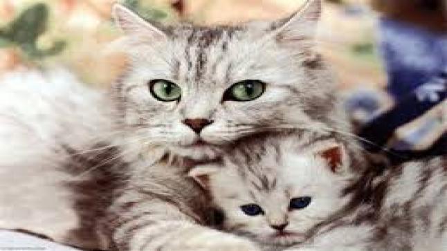 تفسير حلم القطط في المنام لابن سيرين