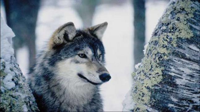 تفسير حلم الذئب في المنام للعزباء والمتزوجة والحامل